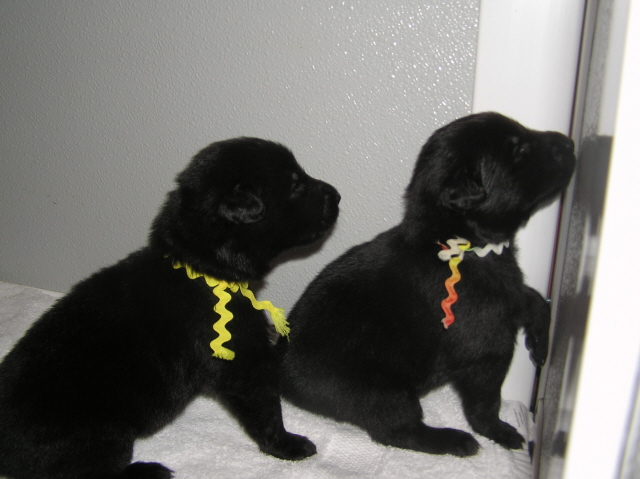 Quest and Onyx pups 19 days