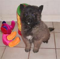 Belgian Tervuren Pup at 7 Weeks