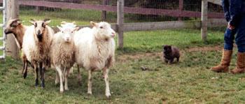 5 week old Belgain Tervuren Herding
