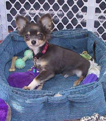 Longhaired Chihuahua Puppy
