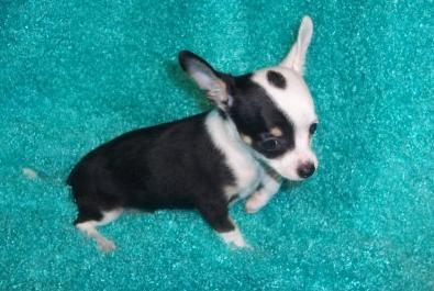10 Week Old Chihuahua Pup
