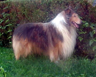 Silverado Collies - ATSA, dark mahogany Collie male