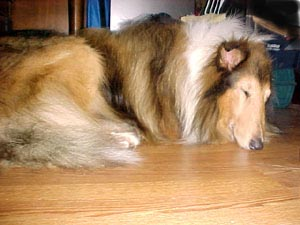Silverado Collies - ATSA napping in front of the fire