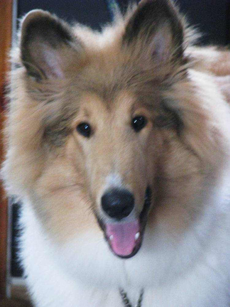 Collie Dog Breed Information, Puppies & Pictures