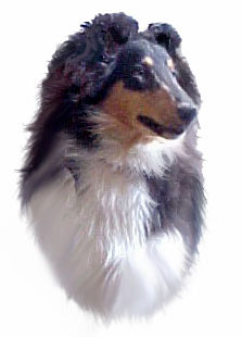 Sunny Glasgowhill Silverado Stylish - Tricolor Collie girl