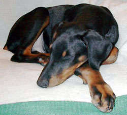 Sleeping Doberman Pinscher Puppy