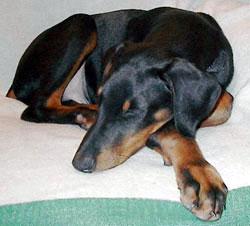 Sleeping Doberman Pinscher Puppy