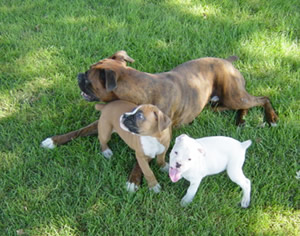 Boxer Mom with White and Fawn Puppies