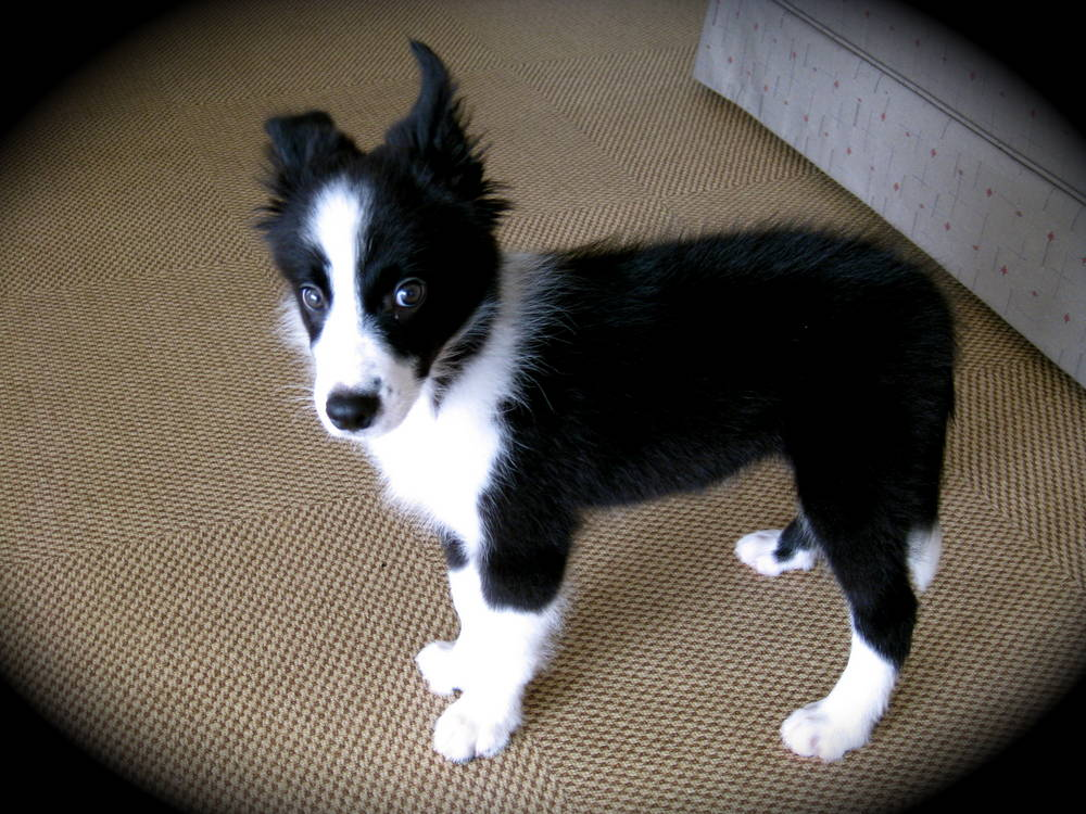 Border Collies - History