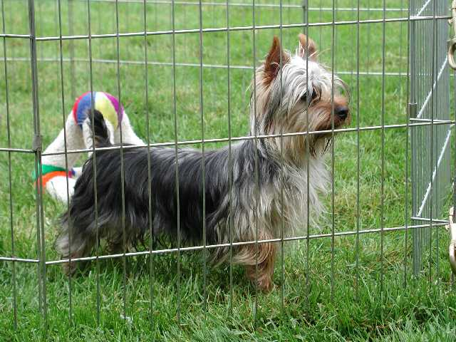 Silky Terrier behind fence