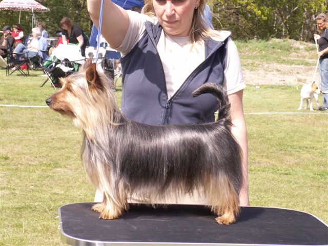 Silky Terrier showing