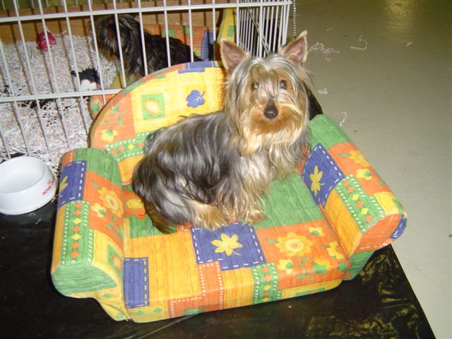 Silky Terrier on armchair
