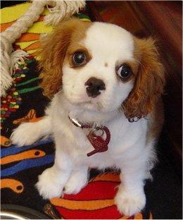 Precious Cavalier King Charles Puppy