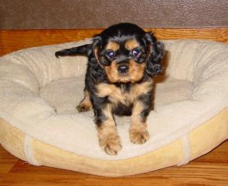 Cavalier Kind Charles Spaniel at 9 weeks