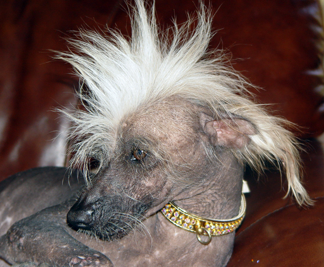 Chinese Crested Dog with a Mohawk
