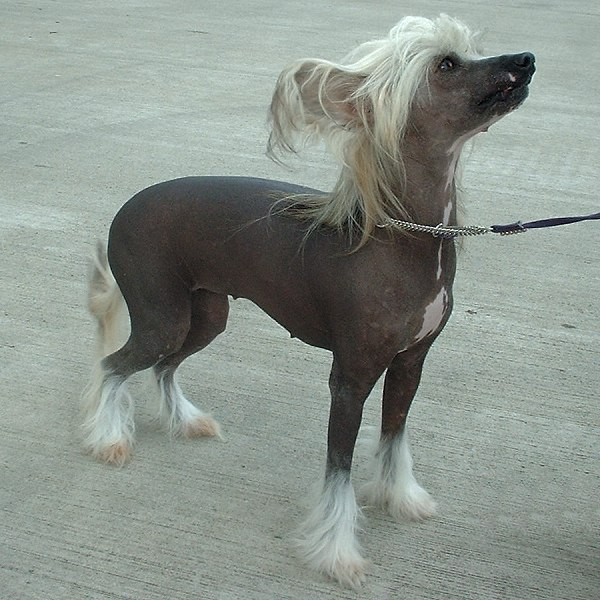 Chinese Crested Dog out for a Walk