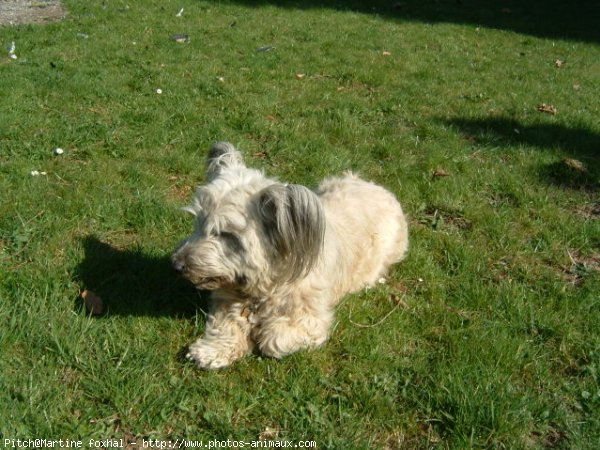 Skye Terrier lying in grass