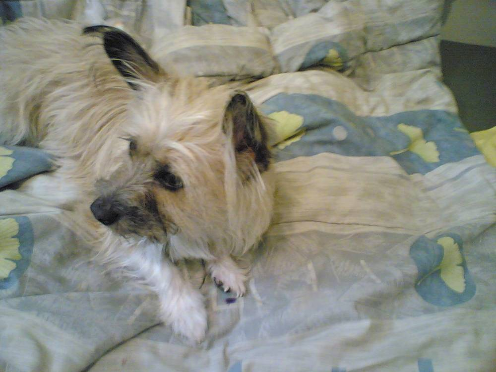 Skye Terrier lying on bed