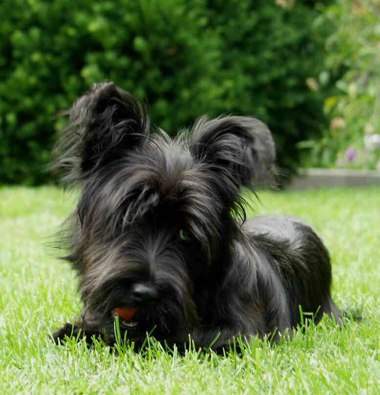 Skye Terrier Dog Breed Information, Puppies & Pictures