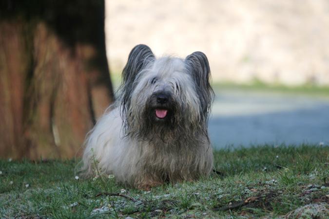 Skye Terrier posing