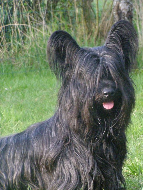Skye Terrier with tongue out