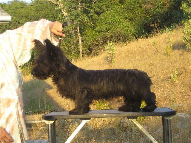 Skye Terrier standing on table