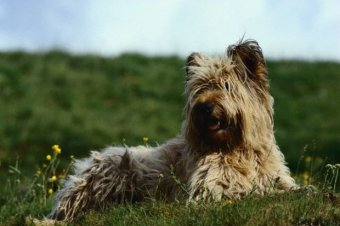 Skye Terrier on the Hillside