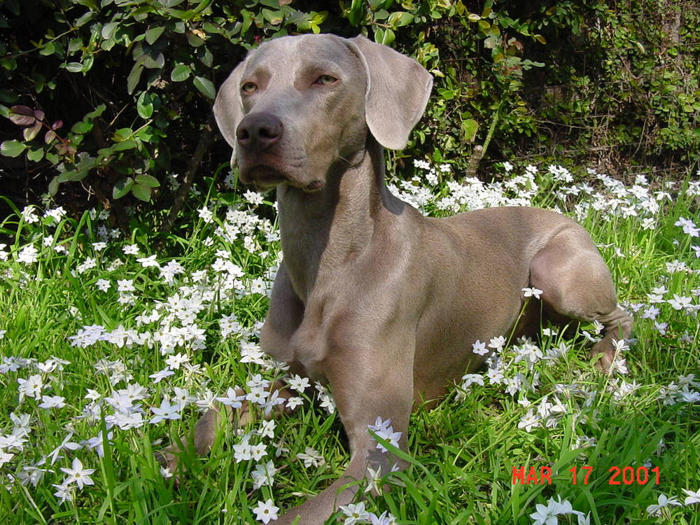 weimaraner dog breed information puppies pictures. Black Bedroom Furniture Sets. Home Design Ideas