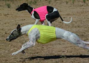 Racing Whippets