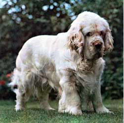Clumber Spaniel Dog Breed Information Puppies Pictures