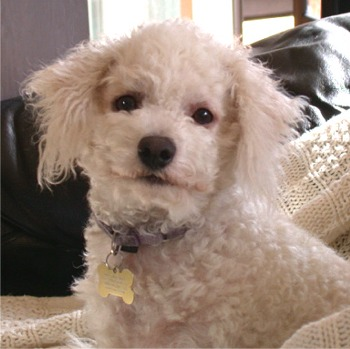 Bichon Frise with a Haircut