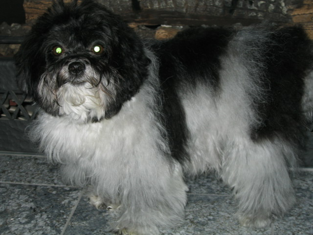 Havanese with a white goatee