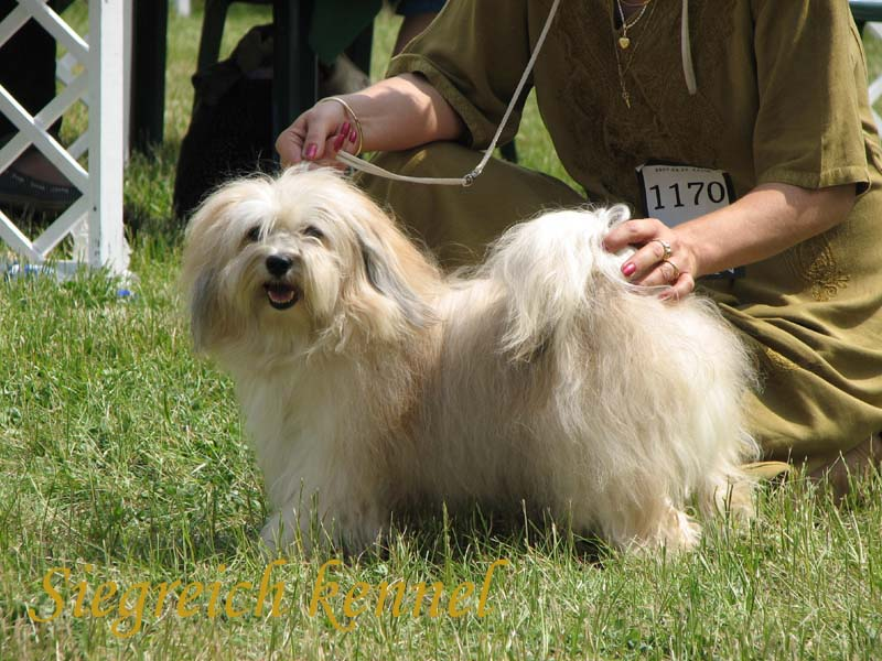 Havanese getting pet at a show