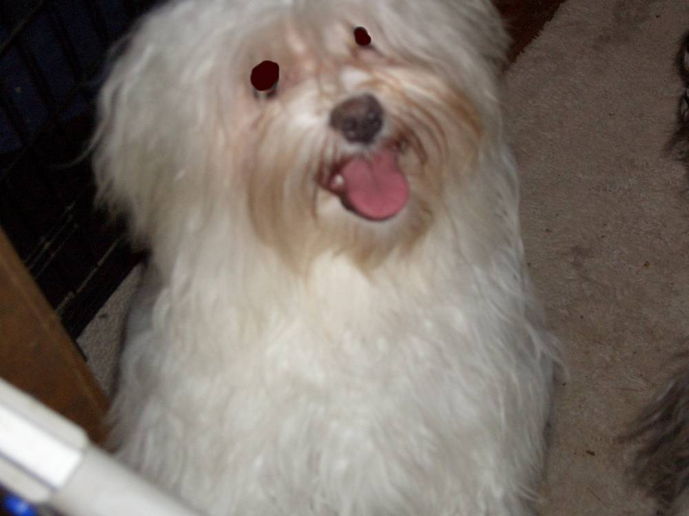 Havanese with a big smile