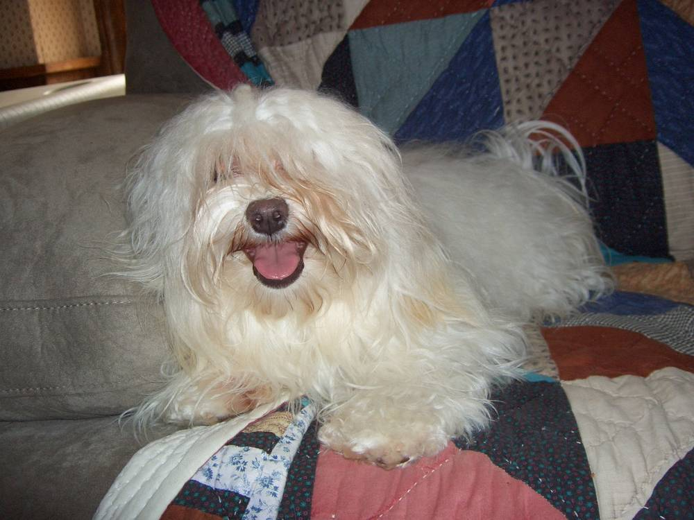 Havanese with tongue out