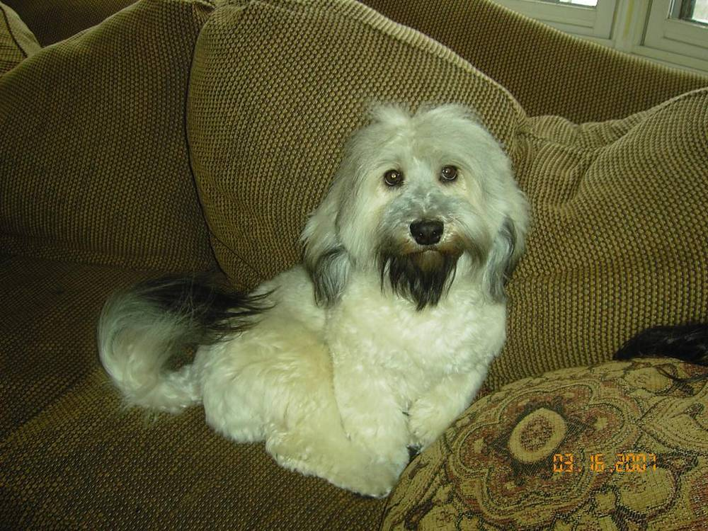 Havanese with a black goatee on couch