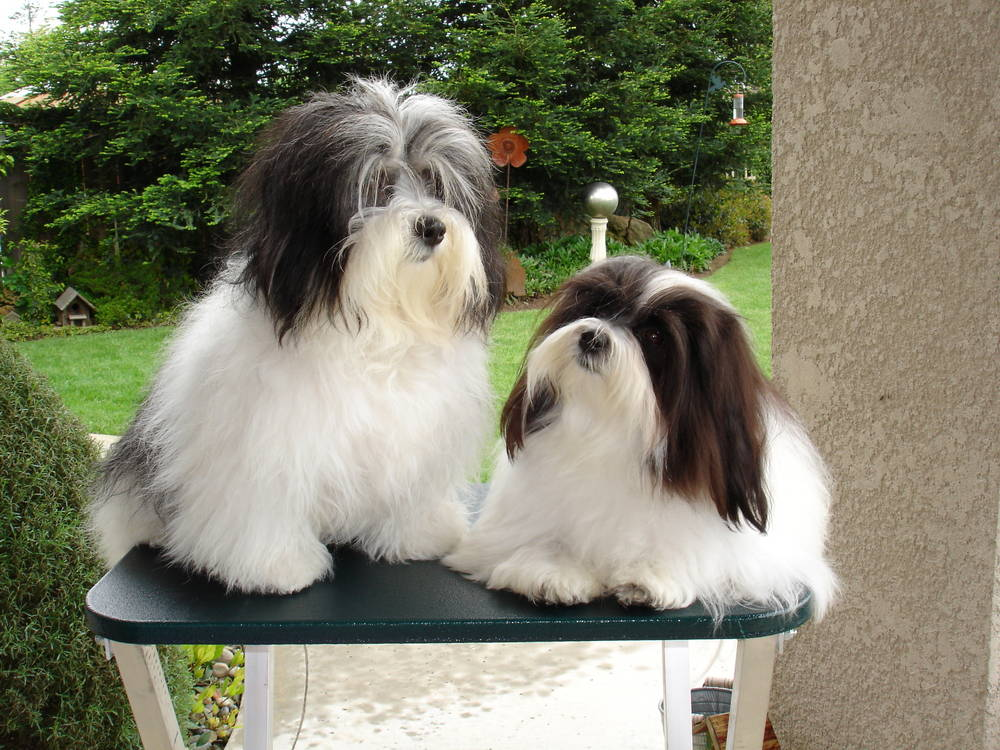 Two Havanese laying on table