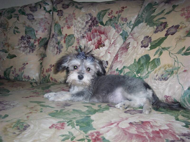 Havanese blending in with couch