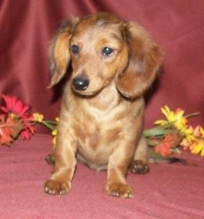 12-Week-Old Dachshund Pup