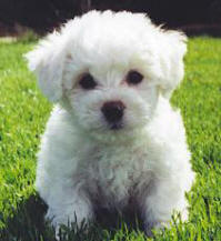 Bichon Frise Pup at 8 Weeks