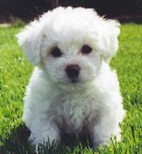 Bichon Frise Pup at 8 Weeks