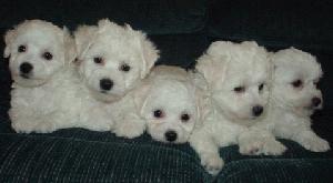 Litter of Bichon Frise Pups