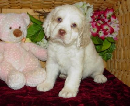 Clumber Spaniel Pup at 9 Weeks