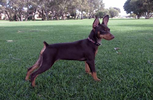 Miniature Pinscher Striking a Pose