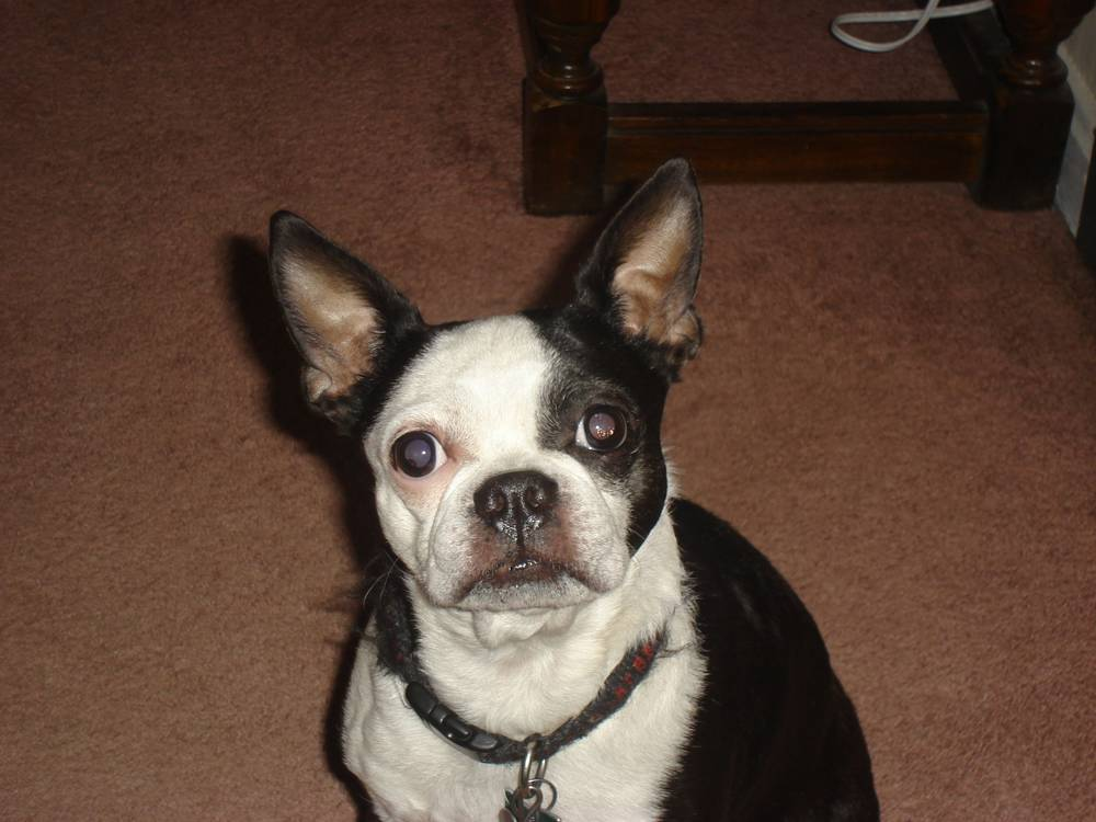Buzz the Boston