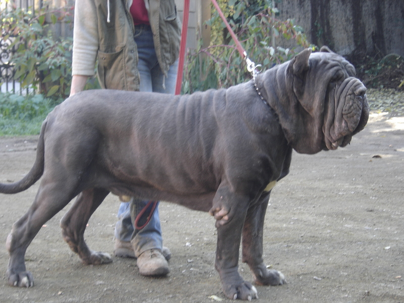 Neapolitan Mastiff on leash