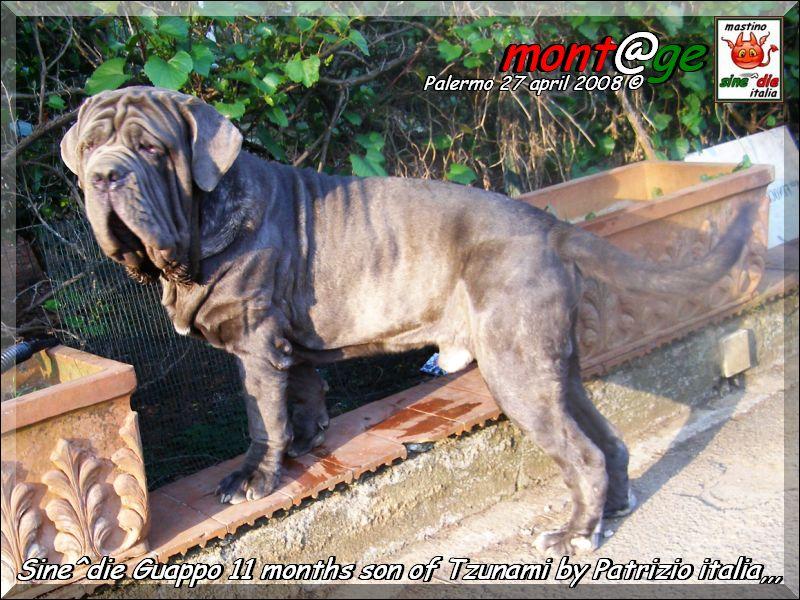 Neapolitan Mastiff posing