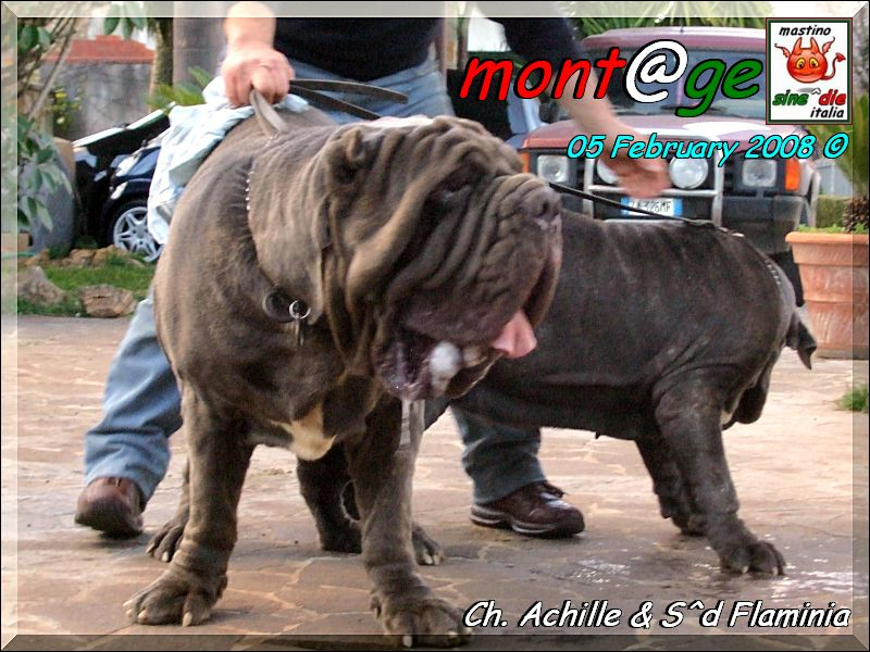 Two Neapolitan Mastiff's