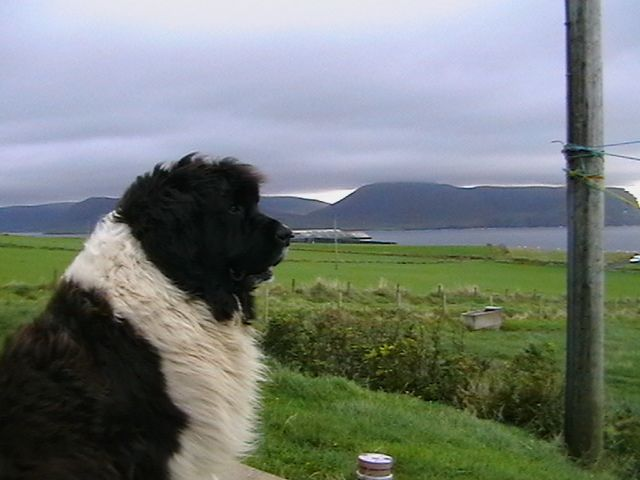 Newfoundland in front of nice background