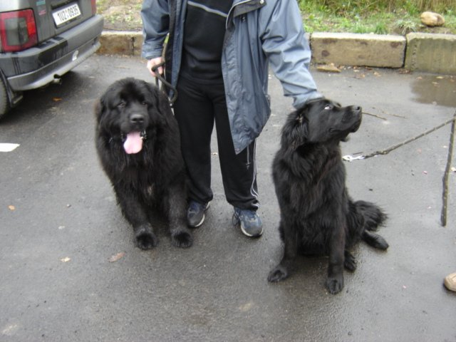 Two Newfoundland's with owner